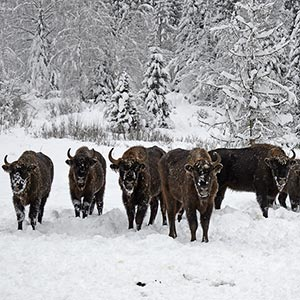 Bison in Malmanstal tract, Maidan village