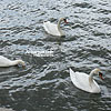 Swans in the Vistula river