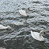 Лебеди на р. Висла